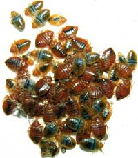 Bed Bug Infestations on the Rise