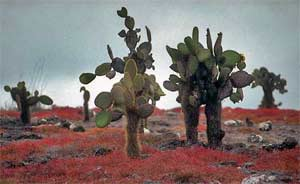 The Galapagos Islands Cactus