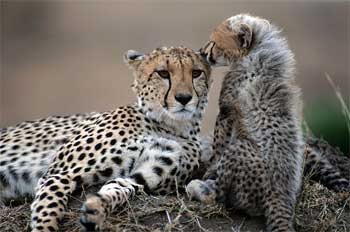 Fastest Animal on Earth | Saving the Cheetah!