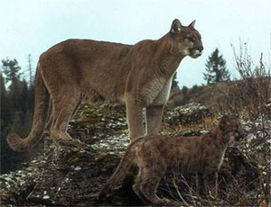 Cougar with Cub [Click for enlarged view]