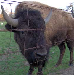 Fenced Buffalo at Frontier Buffalo Ranch, Snelling, CA