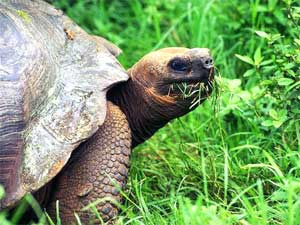 The Galapagos Islands -- Giant Tortoises