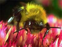 Disappearing Honey Bees Still a Mystery