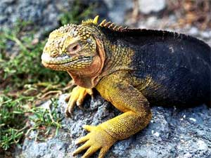 The Galapagos Islands -- Iguana