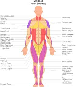Muscles - Review of the Body