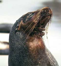 The Galapagos Islands -- Sea Lion covered with oil
