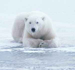 Alaska's Polar Bears Recovering?