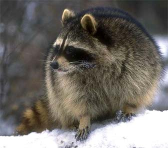 Raccoons Will Steal Your Stuff At Night, Squirrels Are Too Smart