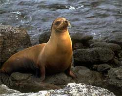 The Galapagos Islands -- Sea Lions threatened