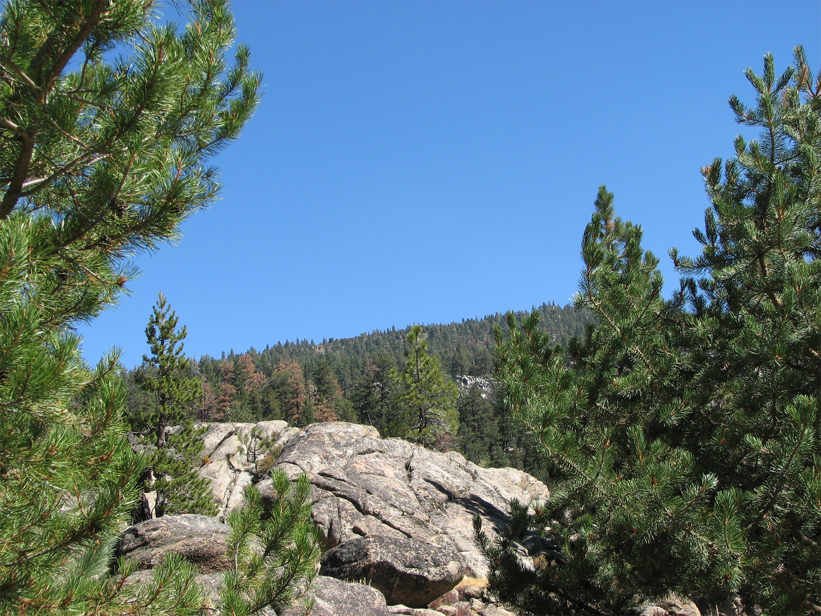 Mountain Pine Tree