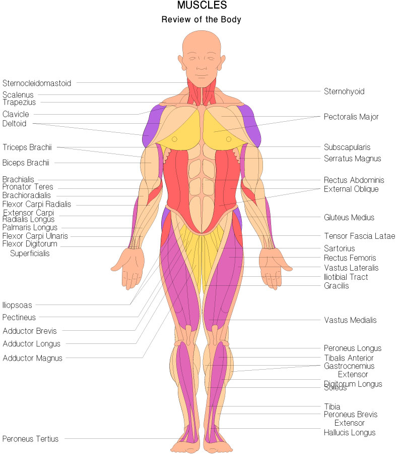 Human Muscle Review | tenderness.co