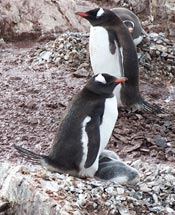 Antarctic Penguins with babies